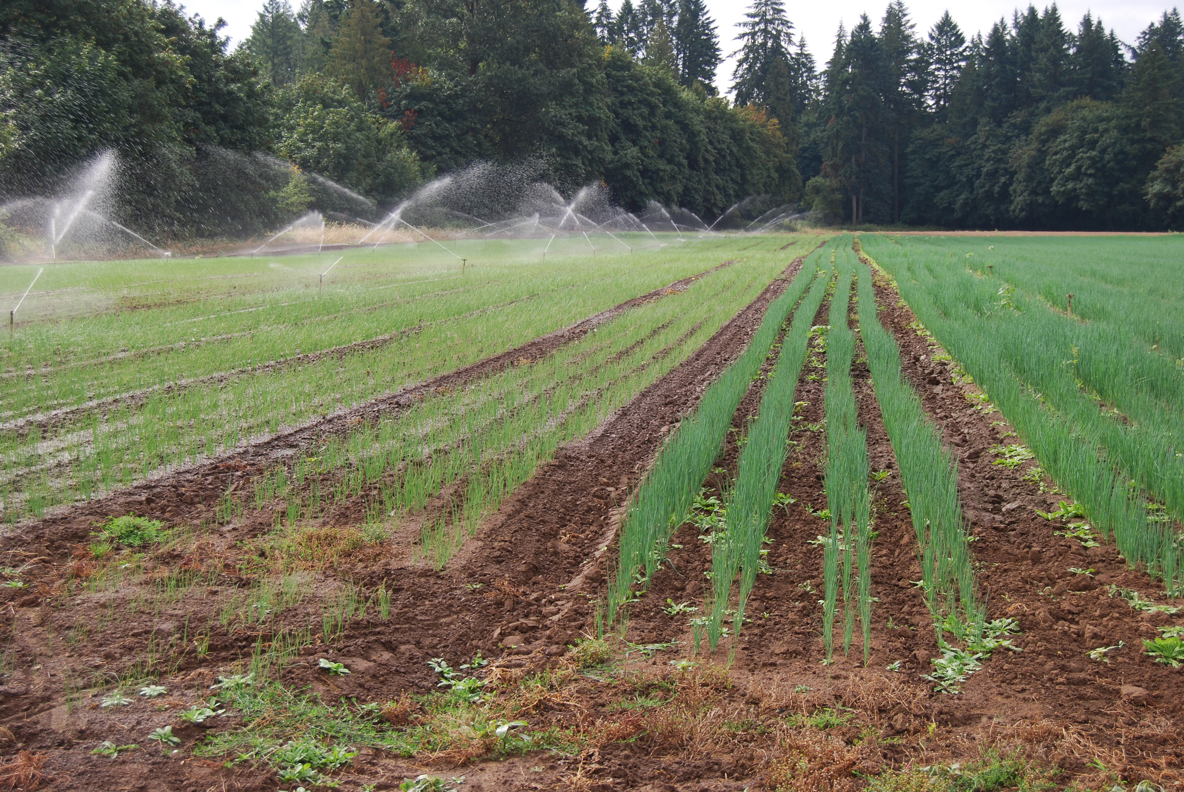 green onions being irrigated in a field