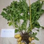 A sampled Nicola potato plant in the lab for analysis. Photo by Lane Selman
