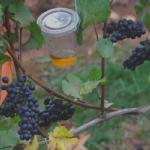 Apple cider vinegar traps attracting flies but with no damage to wine grapes. Photo: Walton Laboratory, Oregon State University