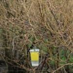 SWD yeast monitoring trap. Photo: Danny Dalton, Oregon State University