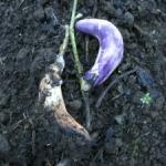 White mold on Chinese eggplant