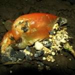 White mold sclerotia on red pepper