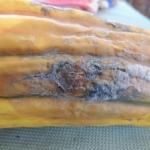 Fusarium on Delicata Squash