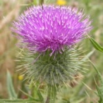 Bull thistle flower heads are pink to purple, and approximately 1 inch tall and wide. Image by: James Altland, USDA-ARS
