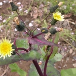 Annual sowthistle flower heads occur in clusters called corymbs. Image by:James Altland, USDA-ARS