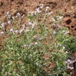 Thistle in field. James Altland, USDA-ARS