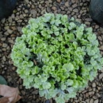 Liverwort thrive in moist container environments with top-dressed fertilizer. Image by: James Altland, USDA-ARS
