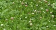 Organic No-Till Living Mulch Soil Fertility:WeedEm and Reap