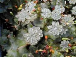 Umbrella shaped male sporocarps originate from male plants. Image by: James Altland, USDA-ARS