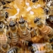 Honey bees begin the honey-making process...photo by Jon Mitchell, New-Review