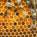 Research from Oregon State Uni-versity has shown that two pesti-cides in particular shorten honey-bees' lives and may cause added physiological stress. | File photo