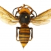 Asian giant hornet. The public is asked to report sightings of the Asian giant hornet in Oregon. (Photo/OSU)