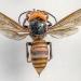 Asian giant hornet. Photo by Karla Salp/WSDA