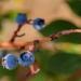 Summertime blues: Highbush blueberries at Hilda's Organic U-Pick. Credit: Sheraz Sadiq.
