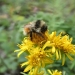 Photo of B. sylvicola, the forest bumblebee, is found in much of Canada and the far western reaches of the United States, including Alaska. COURTESY JESSICA RYKKEN