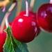 Photo of cherries.