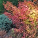 Oregon's native vine maple shines in fall. Photo by Neil Bell/OSU Extension Service.