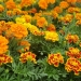 Annuals like marigold will die quickly once cold weather arrives and should be pulled up to avoid diseases next year.Mary Stewart/OSU Extension Service