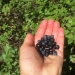 Professor Bernadine Strik holds a handful of Vaccinium membranaceum, commonly called Mountain Huckleberries.