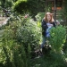 Photo of Lisa Blendeim picks peas from her frontyard garden in the Whiteaker neighborhood in Eugene. Photo by Chris Pietsch/The Register-Gard
