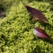 Some fall leaves provide color to a green carpet of of moss growing in the lawn.The Oregonian/Oregonlive.com