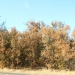 Area trees appear to be impacted by the ongoing drought. Some may be dying, others are going into early dormancy, according to local experts.  Jeremy C. Ruark / The Chronicle