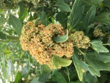 maturing quinoa seed head