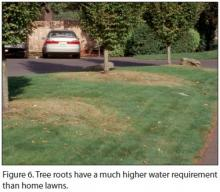 Figure 6. Tree roots have a much higher water requirement than home lawns.